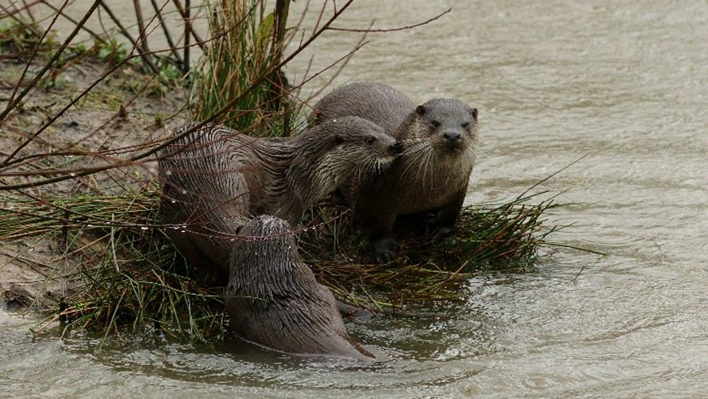 Otter-Ly Loveable - Making Their Home At Great Kneighton