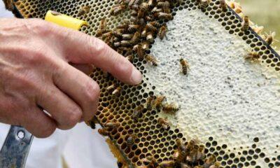 Stung by climate change: drought-weakened bee colonies shrink U.S. honey crop, threaten almonds 45