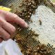 Stung by climate change: drought-weakened bee colonies shrink U.S. honey crop, threaten almonds 46