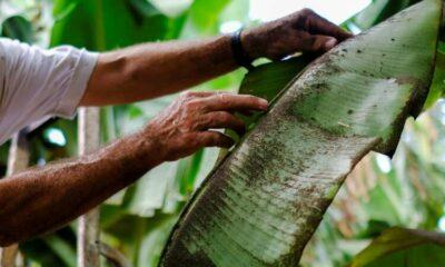 Farmers despair as volcano ravages La Palma's banana crop 53